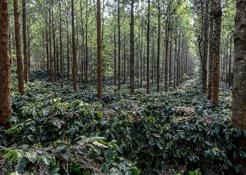 coffee myanmar pyinoolwin