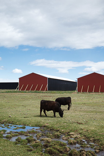 red two usa black green barn cow washington unitedstates cows farm farming barns farmland getty ellensburg kittitas