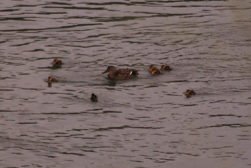 ducklings in Willamette river