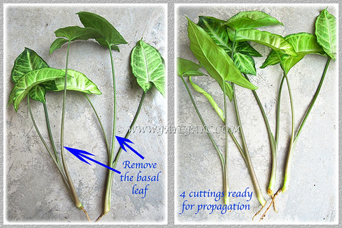 Propagating Syngonium podophyllum by shoot tips or stem sections - step 1