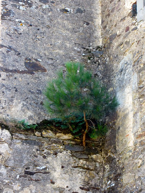 Tree Growing Out of Old Church Wall