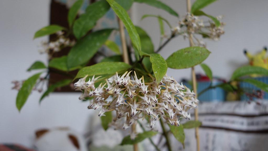Hoya multiflora 'Milky Way' 16408939771_244e5a46de_b