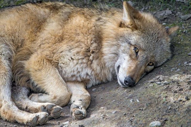 Cute wolf sleeping...
