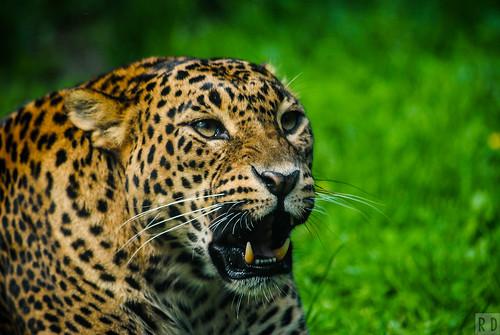 zoo sri lanka parc félin panthère animalier maubeuge