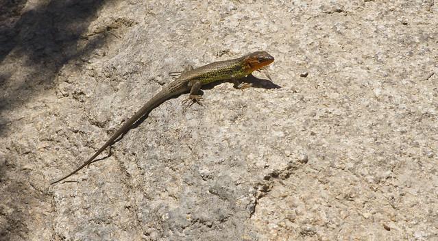 newt in manzanares (2016)