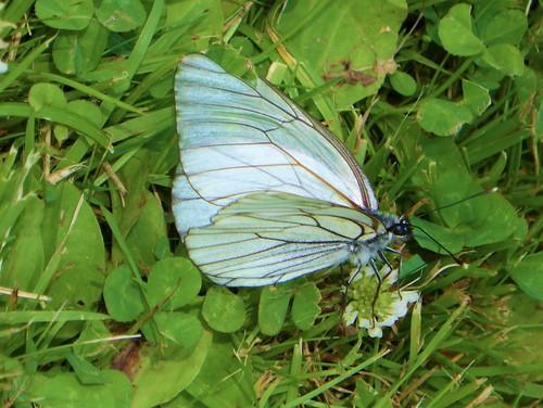 naturguckerde baumweislingaporiacrataegi calexandrawochinger saimaaseebewaldetesufer ngid190707425