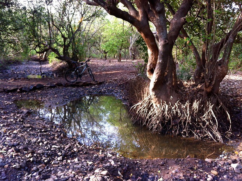 Mangroves in the stream - Nagle Nature Trail