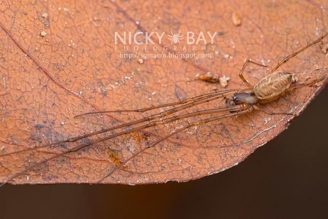 Big-Jawed Spider (Tetragnathidae) - DSC_7277