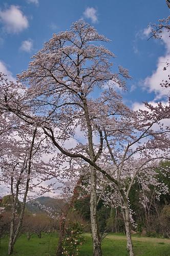 【写真】2013 桜 : 大覚寺/2020-09-15/IMGP9430