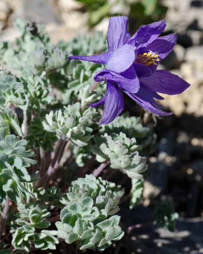 blue macro montana aquilegia alpine columbine wildflower tamron90mm aquilegiajonesii jonescolumbine