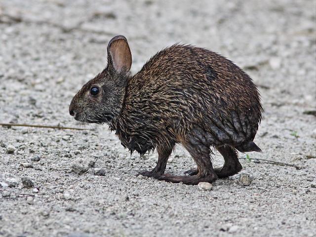 Marsh Rabbit 20130719