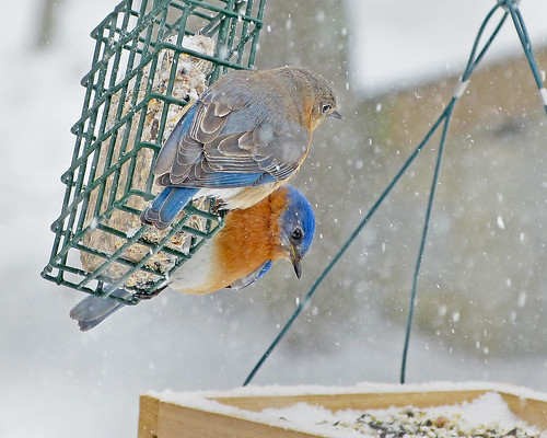 Snowy Bluebird pair at suet feeder | by Bob Vuxinic