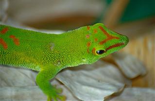 Giant Day Gecko (Phelsuma madgascariensis grandis) captive specimen
