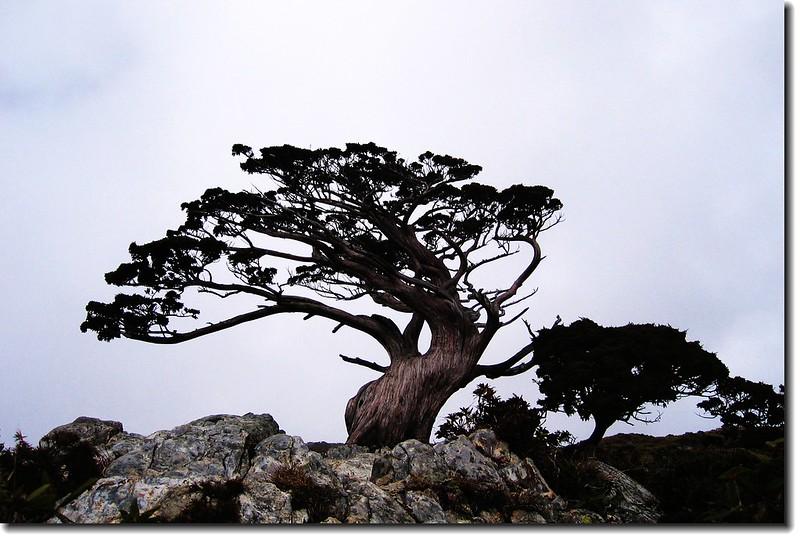 向陽名樹(玉山圓柏) 2
