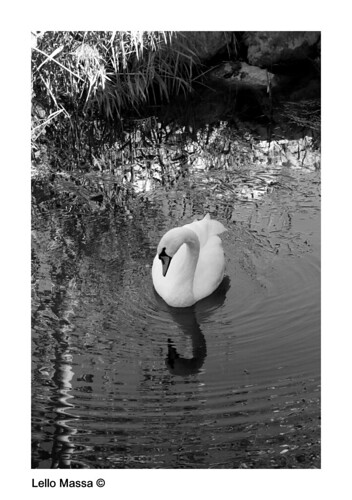 Swan B/W - You should see it on HD