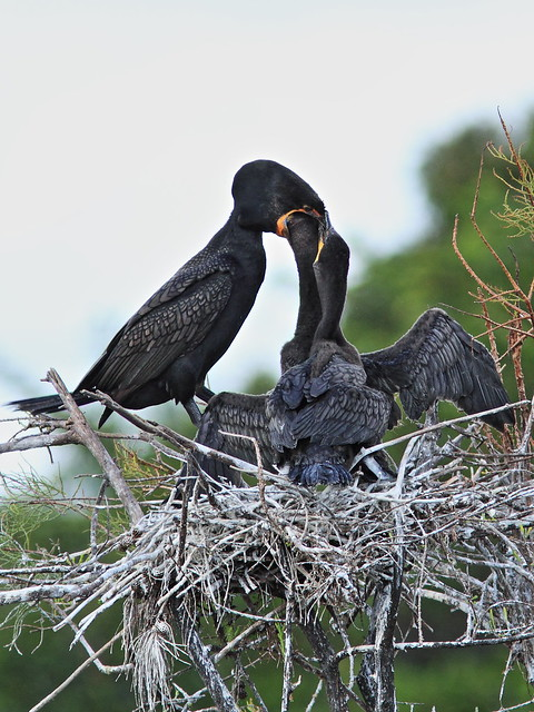 Double-crested Cormorant feeding chicks 05-20131210