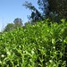 Small photo of Alternanthera philoxeroides habit3c