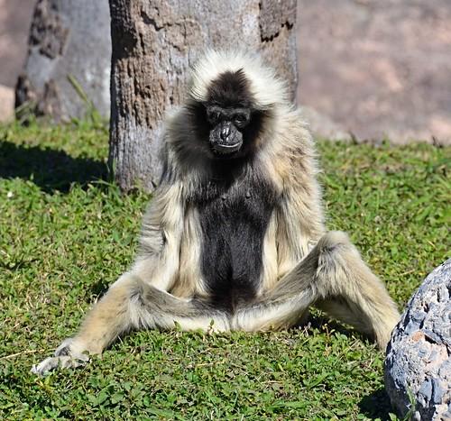 female mammal zoo texas ape primate brownsville gibbon gladysporterzoo pileatedgibbon hylobatespileatus nikond7000 nikkor18to200mmvrlens