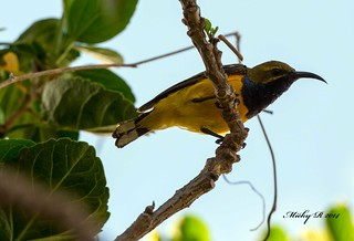 3116 Yellow Bellied sunbird