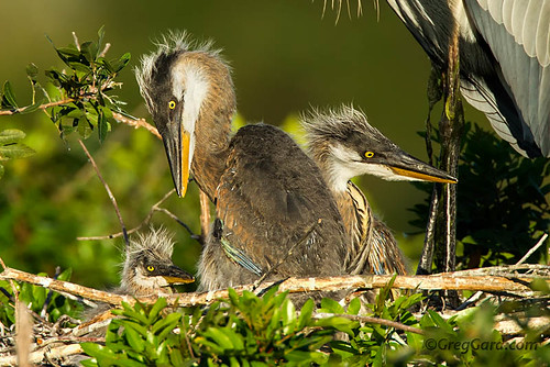 venice green bird heron nature birds canon photography nest florida wildlife branches small birding young chick tc 7d chicks fl 500mm juvenile greatblueheron teleconverter wading nesting extender ardeaherodias gbh 14x venicerookery gbhe