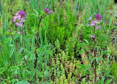 annual plant, prairie, flower, plant, subshrub, herb, flora,