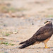 Montagu's Harrier (Female)