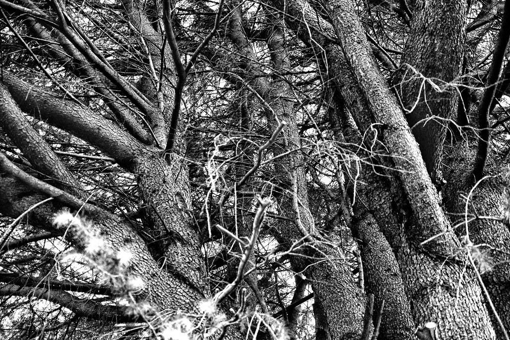 谷中ヒマラヤ杉2