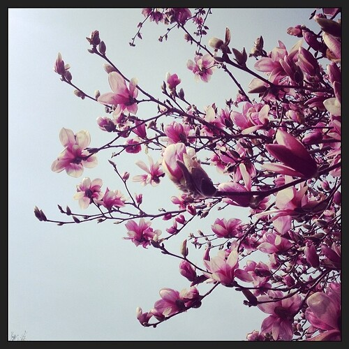 Yay! Magnolia trees! #foundwhilerunning