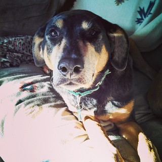 Tut says Good Morning IG! #dogstagram #instadog #rescued #coonhoundmix #houndmix #adoptdontshop #sunspot #morning #chill #ilovemydogs #love #relax