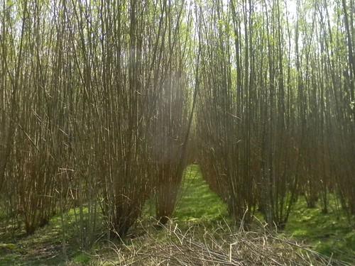 Willow plantation