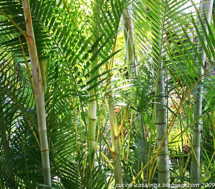 Bambus Iloha