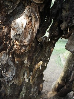yew, tree, Crowhurst, Surrey, travel,