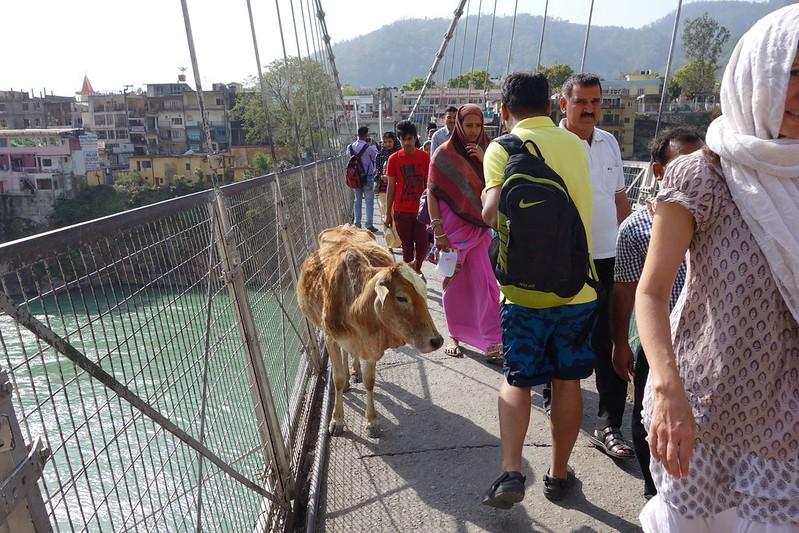 ガンガーをまたぐ細い吊り橋(牛だけじゃなくてもバイクも走るよ)