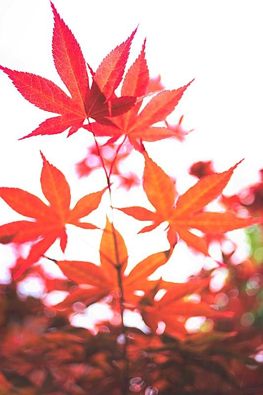 イロハモミジ/Acer palmatum