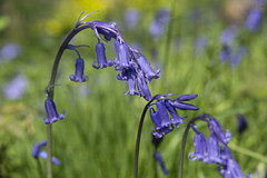 Smell fragrant bluebells in the Conservation Area