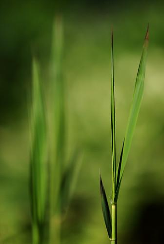 plants green primavera nature colors spring colours bokeh frankfurt ngc natur pflanzen npc grün shoots printemps farben frühling 2014 phragmitesaustralis commonreed anymotion schilfrohr canoneos5dmarkii 5d2 schösslinge