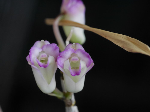Dendrobium moniliforme \'Miyakohime\'