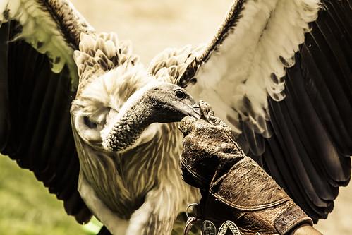 Fortaleza del Sol. Las Aguilas del Sol, cetrería