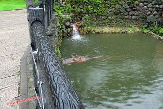 CIMG1154 Pobre superhipopotamo  en el  Infierno  Yama Jigoku  (Beppu) 13-07-2010 copia
