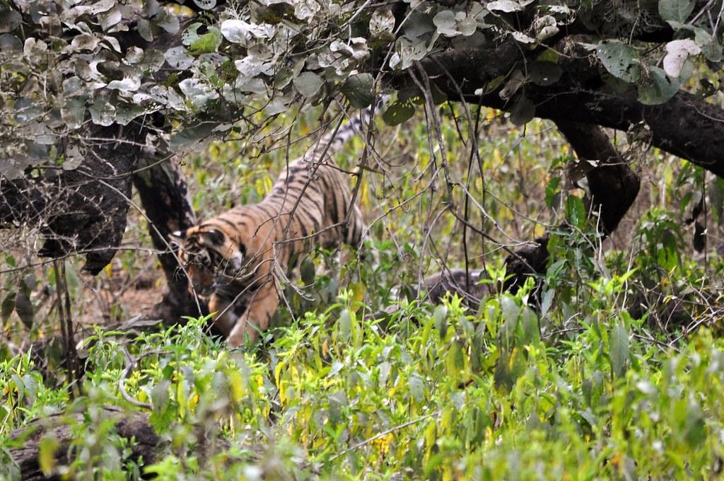 Tiger-Springend_g