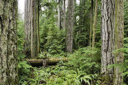 Cathedral Grove, MacMillan Provincial Park, Vancouver Island, British Columbia, Canada.