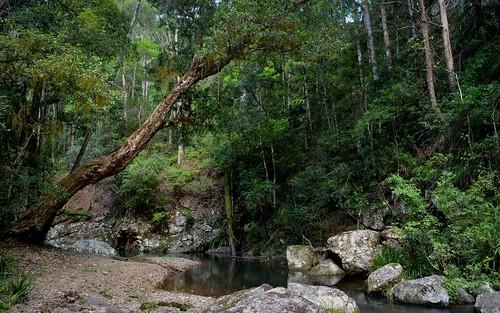 trees water rainforest stream australia nsw australianlandscape myrtaceae kanooka northernrivers tweedvalley australiantrees tristaniopsislaurina creekscape watergum streamscape couchycreek couchycreeknaturereserve australiancreeks