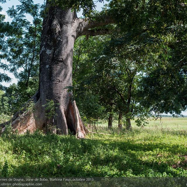 Paysage herboré dans la zone de bobo au burkina faso en afrique. Le pays est connu pour sa forte présence d'eau maisnla zone de bobo est fortement exposée aux averses ce qui la rend tres verte. On y retrouve aussi beaucoup d'espèces protégées. #afrique #b
