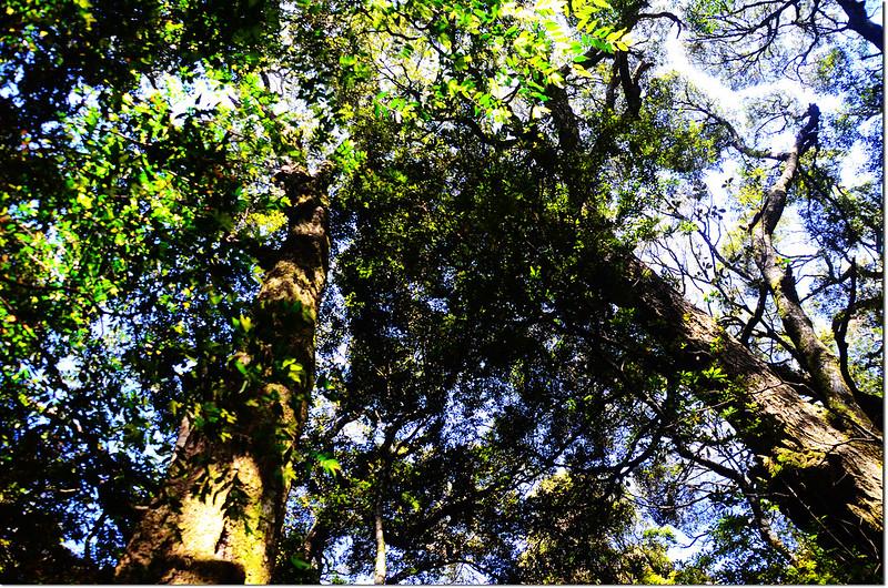 佳仁山稜線上巨木群 5
