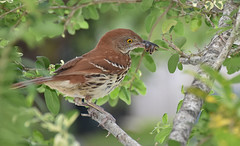 Brown Thrasher (5 of 5)