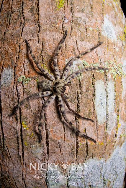 Lunula Huntsman Spider (Heteropoda lunula) - DSC_2049