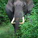 Asian Elephant tusker (By Raghu Kulkarni)