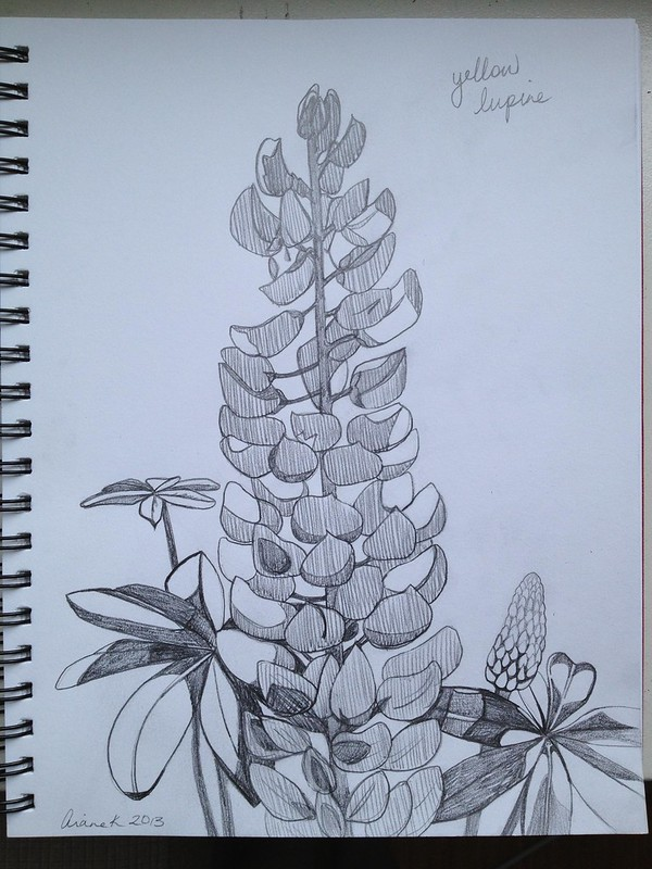 Day 2: Yellow lupine