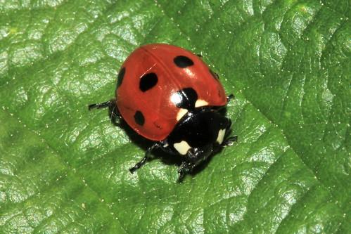 7-Spot Ladybird 18345