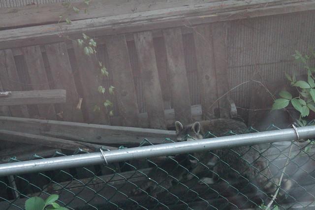 Raccoons next door - first encounter